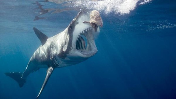 great-white-shark-eat_e474cb4712a1e5b1